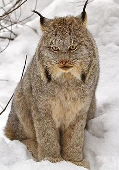 Scientists: Wolf return could help restore lynx | Sports