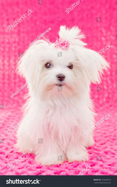 Cute Maltese Puppy Dog With Pink Bow Stock Photo 129262913