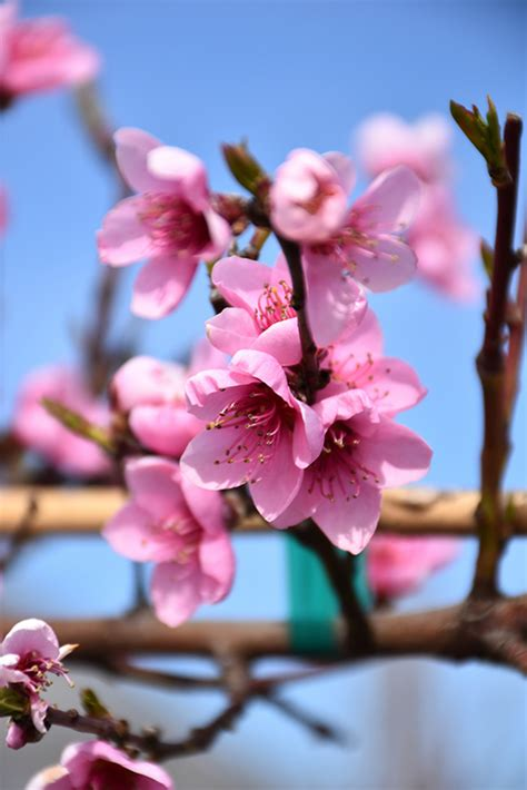 Frost Peach (Prunus persica 'Frost') in Issaquah Seattle