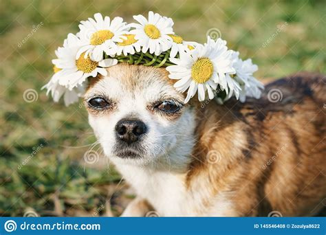 A Cute Little Dog Chihuahua With A Wreath Of Chamomile On