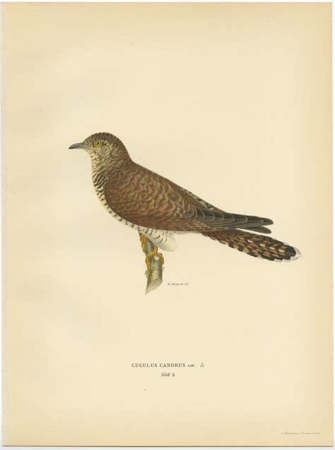 Antique Bird Print of a female common cuckoo by Von Wright