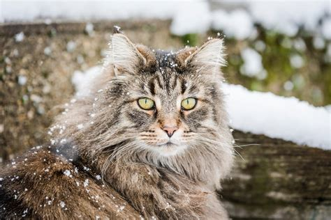 So you're thinking about getting…a Norwegian Forest Cat
