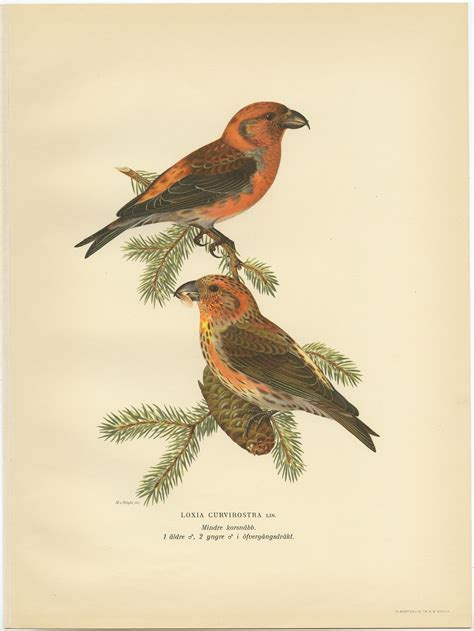 Antique Bird Print of the red crossbill by Von Wright (1927)