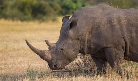 Rhinos 'could become extinct in just over 10 years time