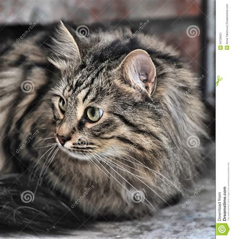 50 Most Beautiful Norwegian Forest Cat Photos And Images