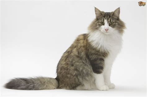 Norwegian Forest Cat Cat Breed   Facts, Highlights