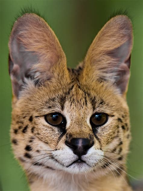 Serval | The Serval is a medium-sized African wild cat