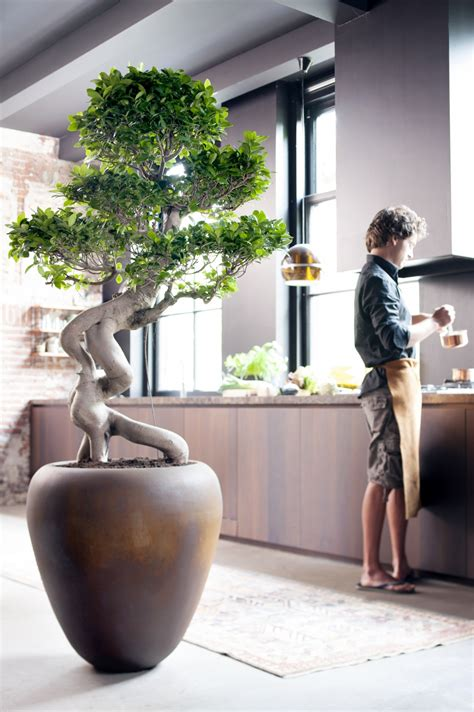 July 2015: the Ficus Ginseng is Houseplant of the month
