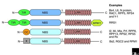 Plant NBS-LRR proteins: adaptable guards | Genome Biology